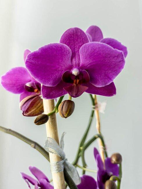 fialová orchidea