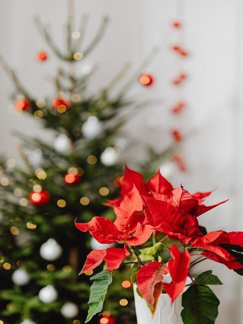 Vianočná ruža na stole