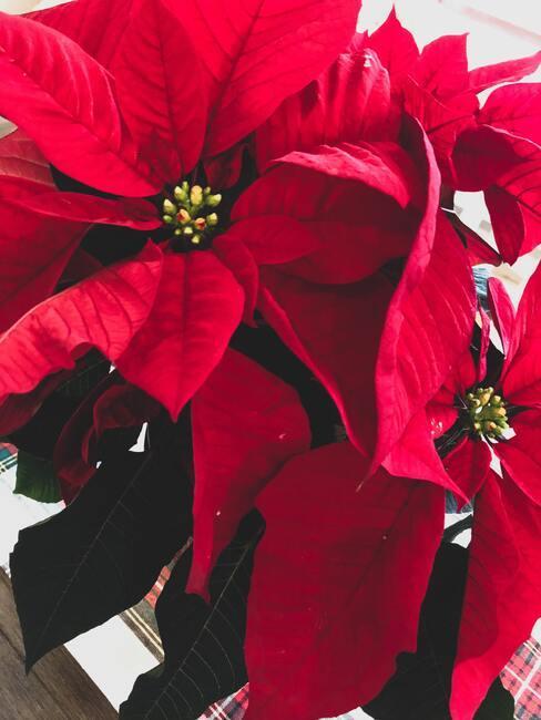 Vianočná ruža: poinsettia