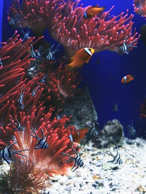 Rote Fische unter Wasser mit roten Korallen.