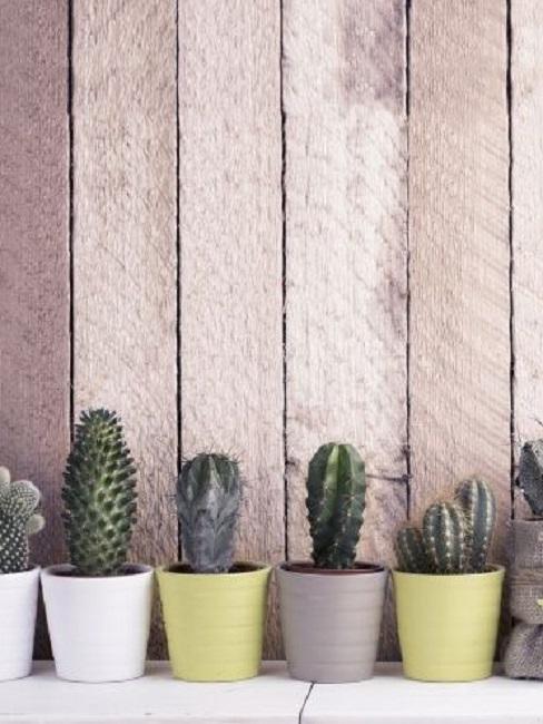 Indoor Pflanzen Kakteen