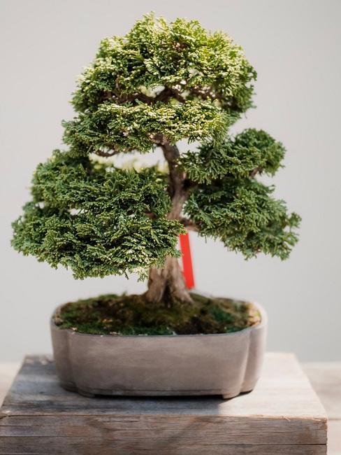 Zen Garten Bonsai Pflanze Holz