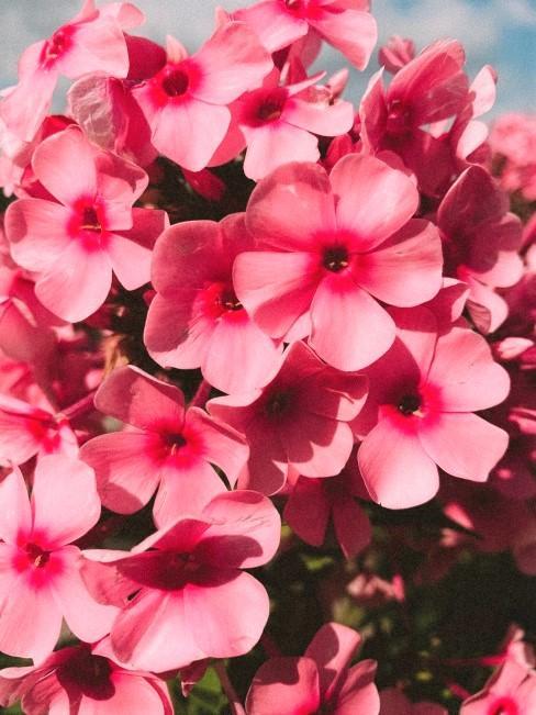 Buganvilla flores rosas