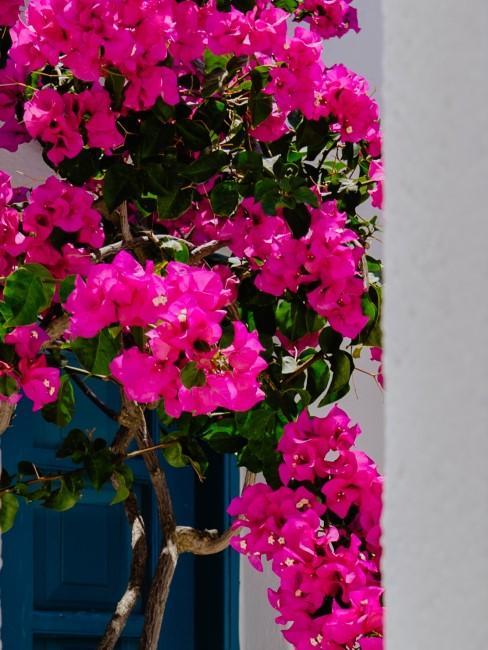 Geranios flores rosas