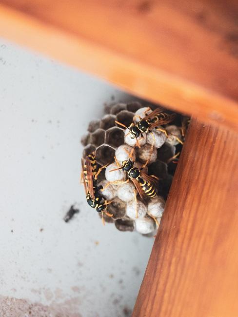 Wespennest mit Wespen hinter Holzbalken
