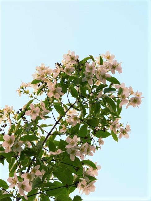 Jazmín flores blancas