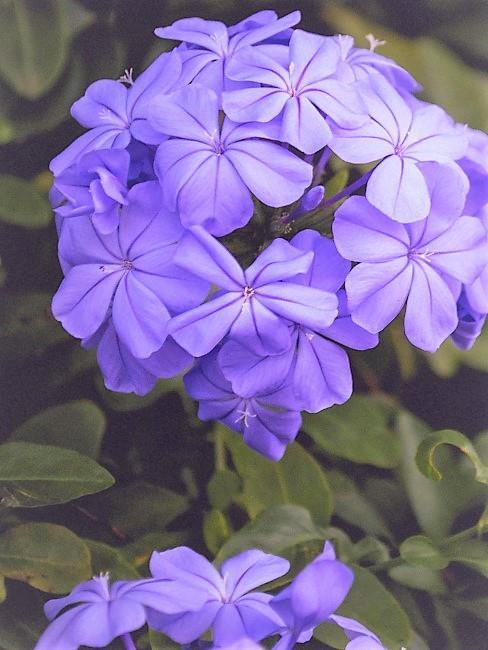 Violeta africana flor morada