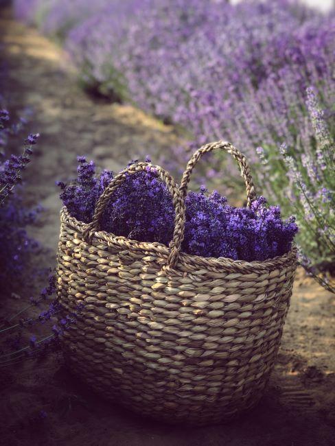 panier rempli de fleurs de lavande
