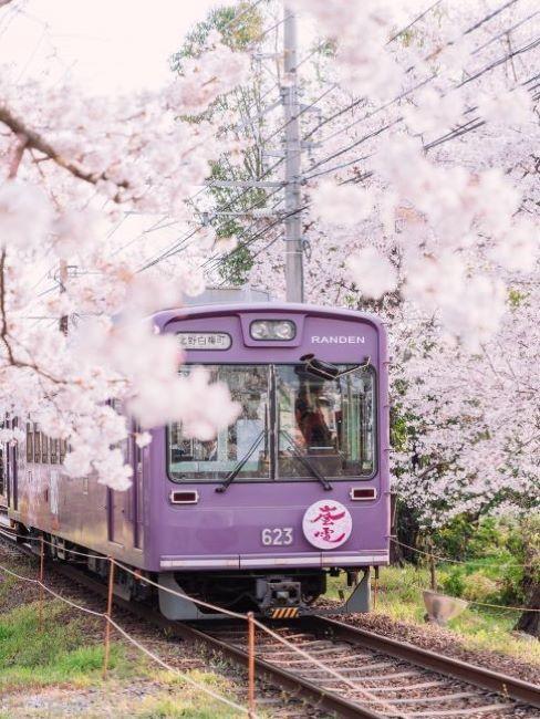treno lilla in mezzo ai ciliegi in giappone