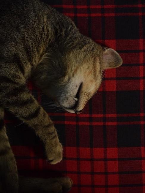 Gattino su plaid in tartan