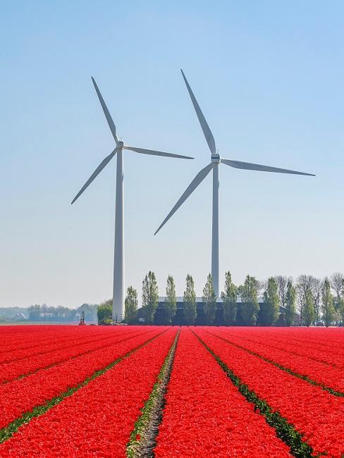 vakantie in eigen land rode tulpenvelden met windtorens op de achtergrond