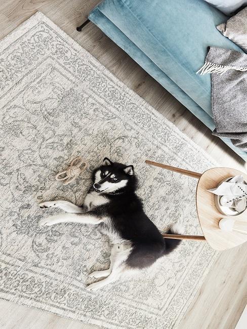 Hund auf einem Teppich vor dem Sofa liegend