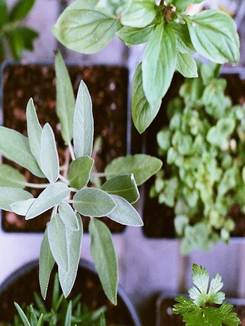 Zbliżenie na zioła w doniczce