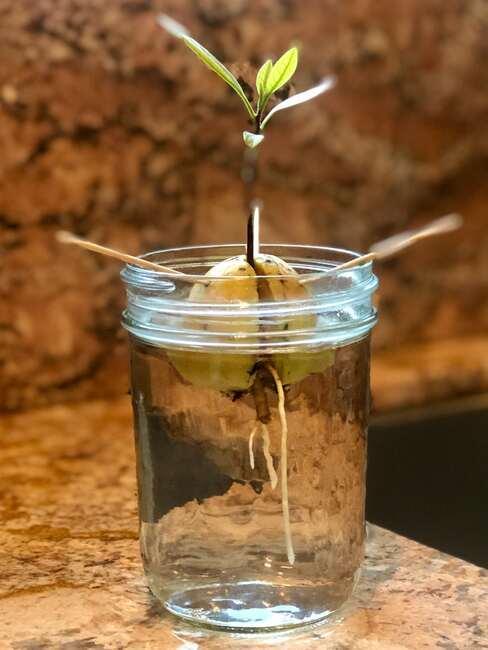szklany słoik z wodą i kiełkującym awokado z pestki