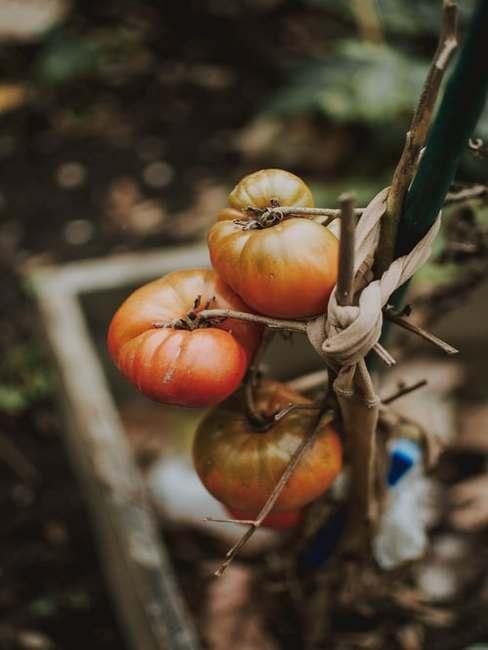 Pomidory rosnąc w skrzyni