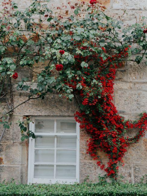 arbuste vert et rouge décorant un mur d'une maison