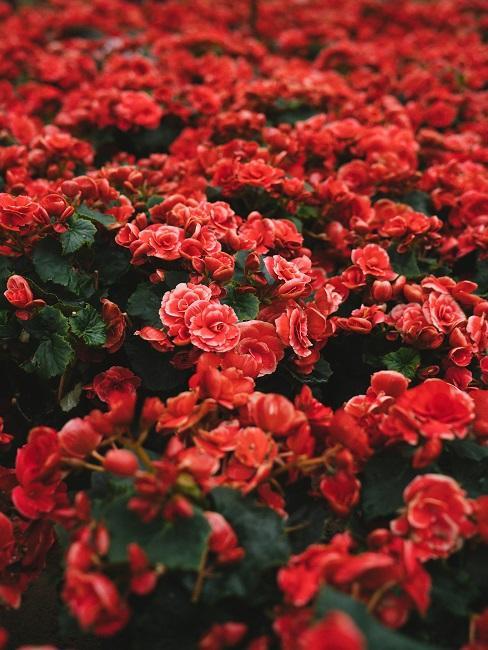 Bloembed rode bloemen