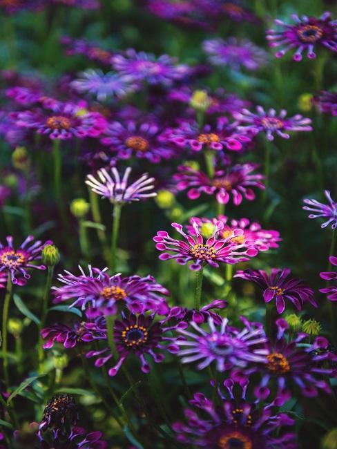 Bloembed paarse bloemen