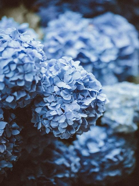 Bloembed Blauwe hortensia