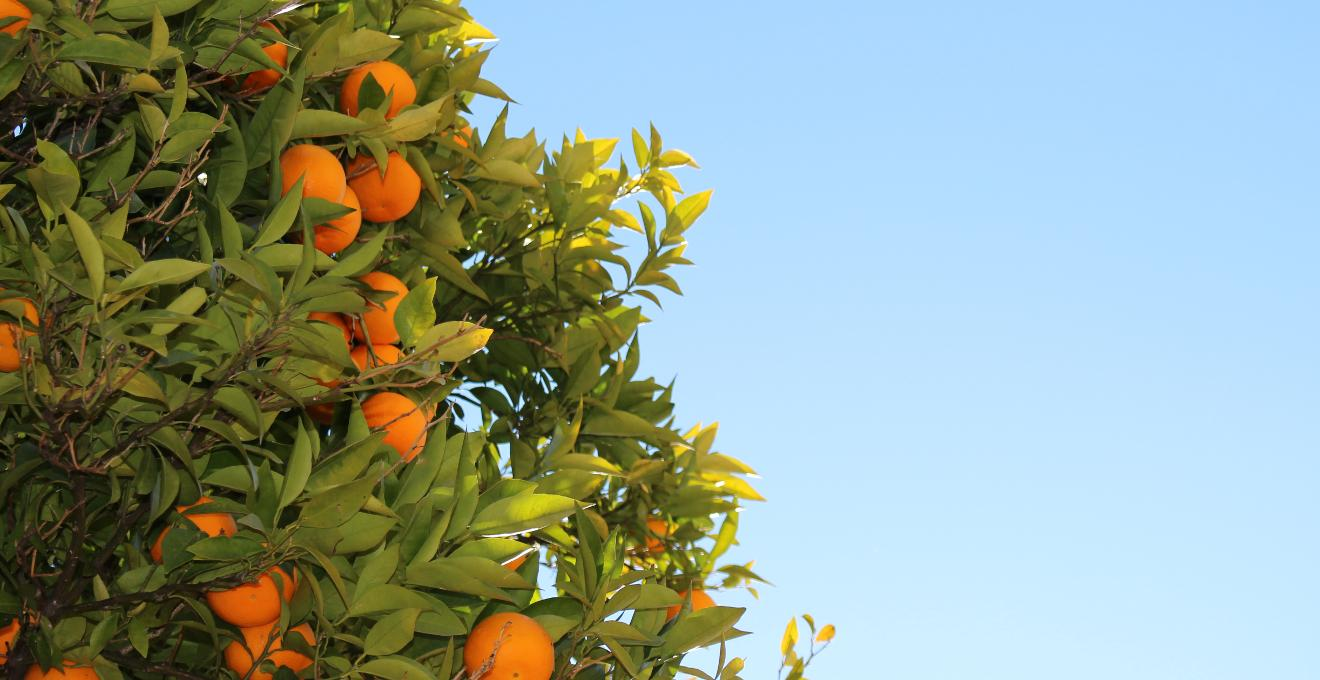 Patio de naranjos