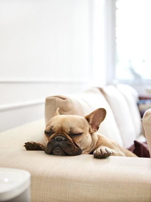 Hund im Büro auf der Couch