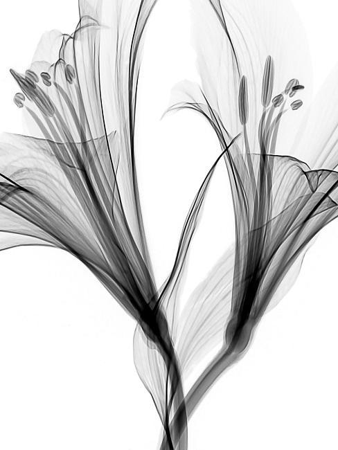 Zwei gezeichnete Lilien in Schwarz-Weiß