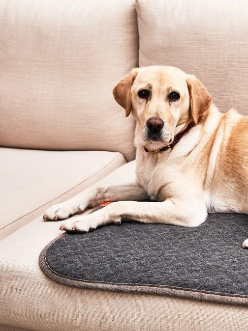 Hund liegt auf hellem Sofa
