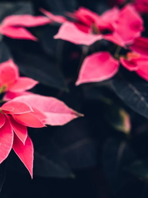 Flor de pascua o de navidad