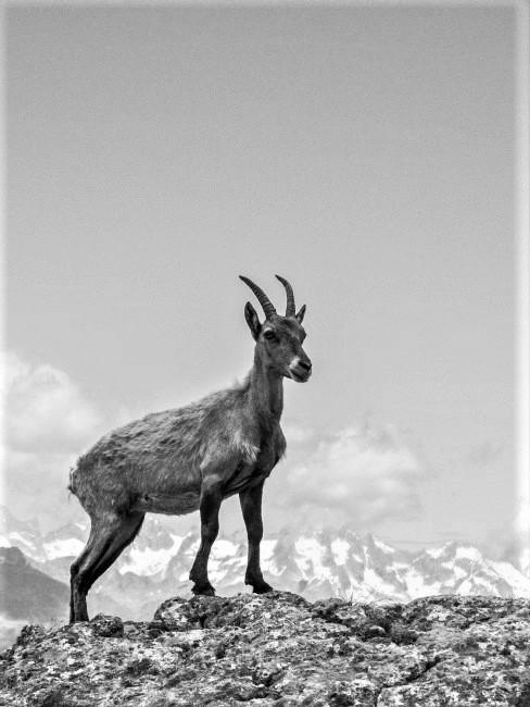 una cabra montesa en la naturaleza