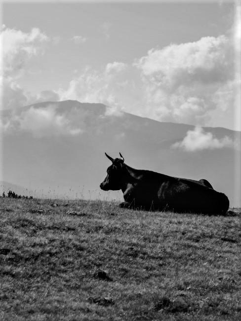 un toro tumbado en una pradera