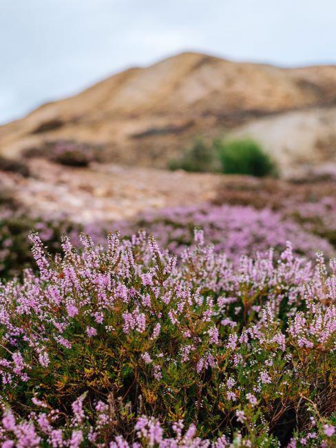 champs des arbustes couleur lilas