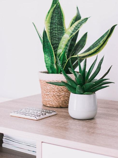 Deux plantes succulentes sur une table en bois, un cachet-pot blanc et un cache-pot en rotin