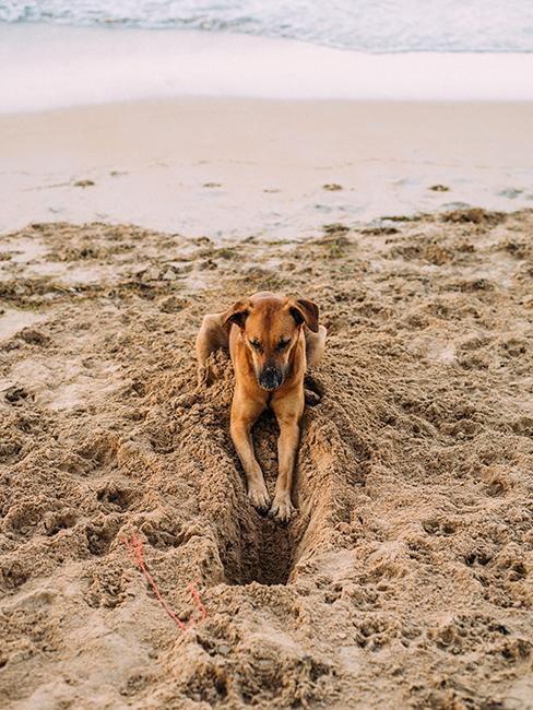 Chien entrain de creuser dans le sable