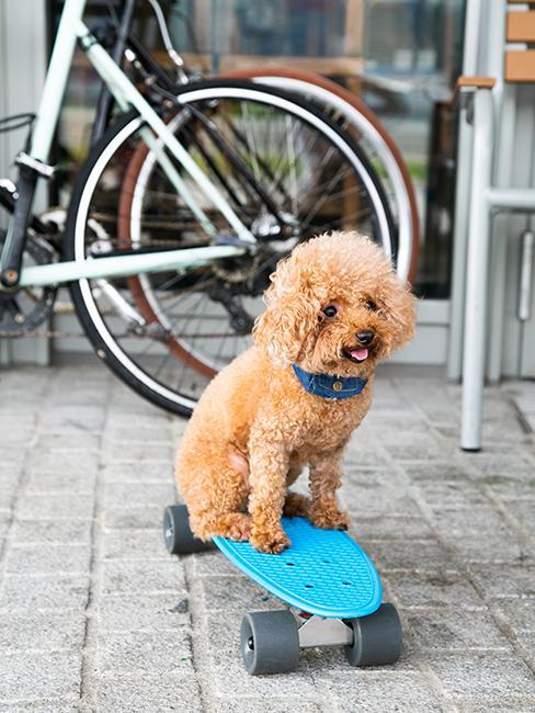 petit chien sur un skate bleu