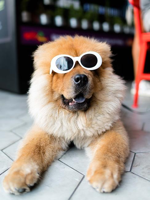 Chien avec lunettes de soleil