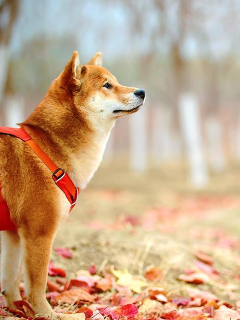 Shiba dehors avec feuilles d'automne