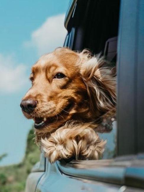 chien dans une voiture