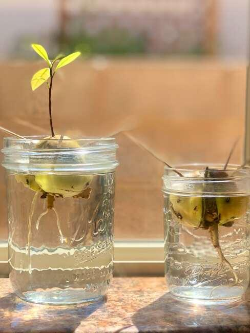 Dwa szklane słoiczki z kiełkującymi pestkami z awokado
