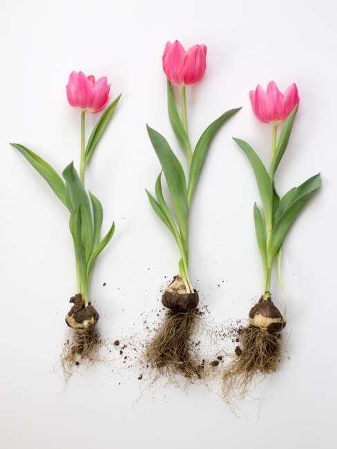 Tulipany wraz z cebulkami na białym stole