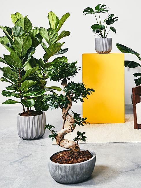 Rośliny doniczkowe, fikusy i monstera