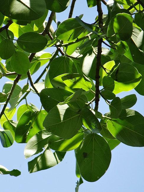 Drzewo fikusa bengalskiego