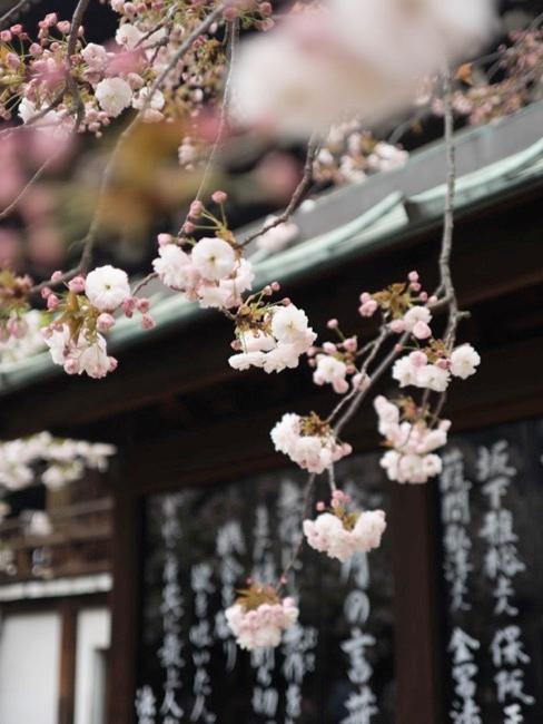 Nahaufnahme Kirschblütenbaum