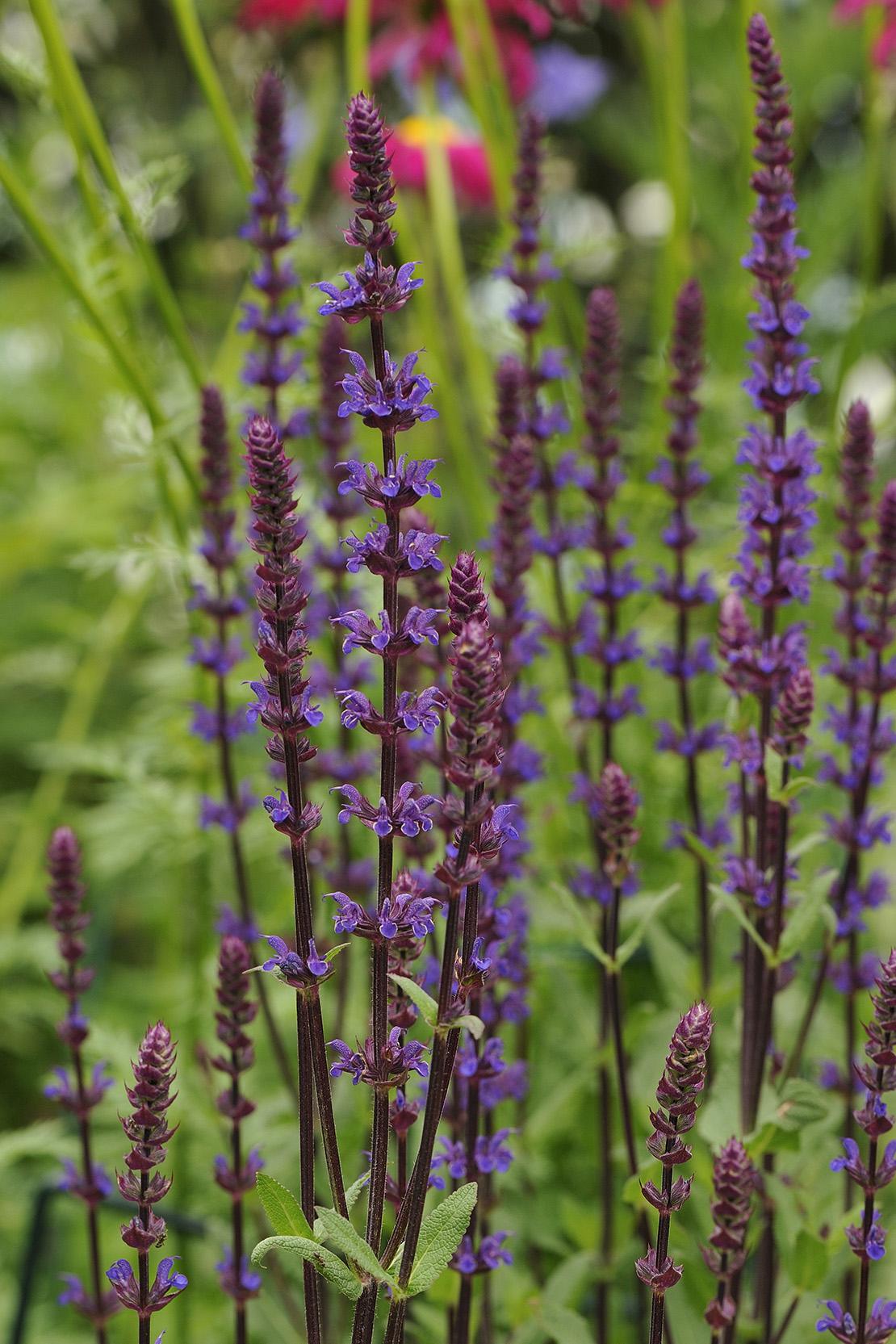 herbstblumen-salvia-lila