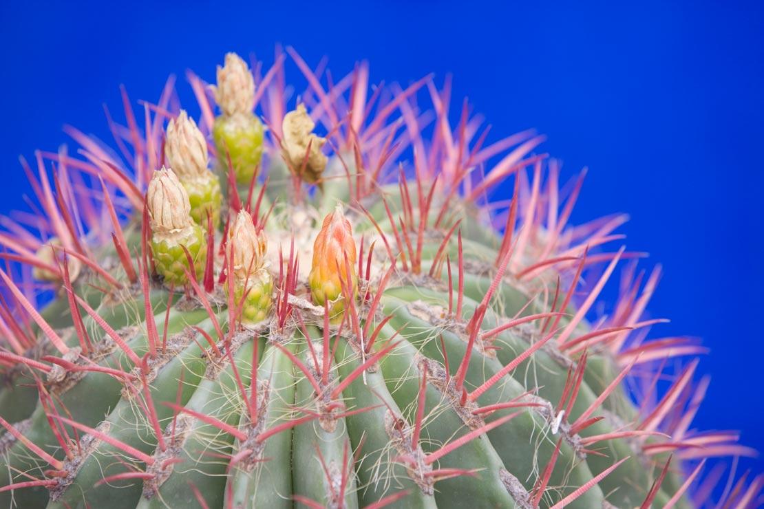 westwing-jardin-majorelle-kaktus-mit-blueten