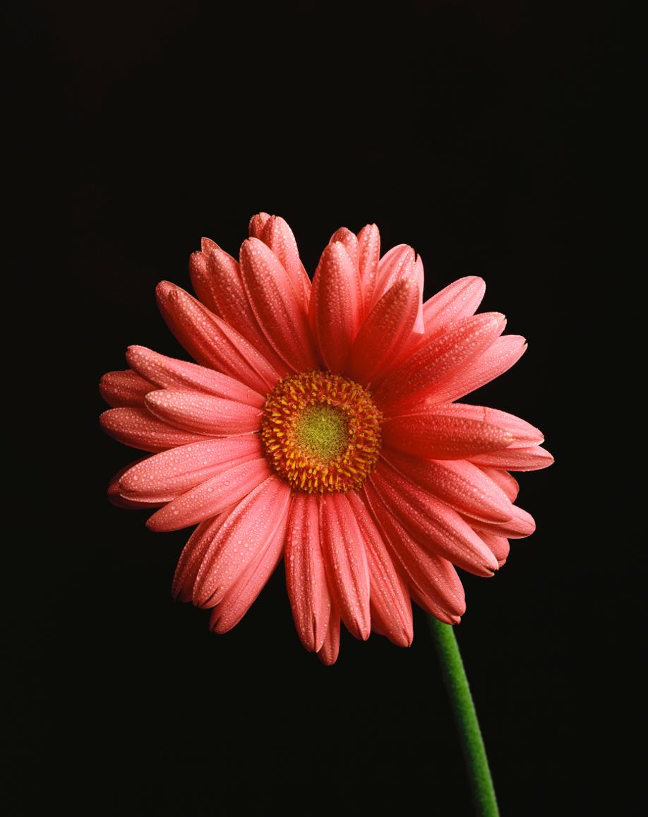 westwing-flores-gerbera