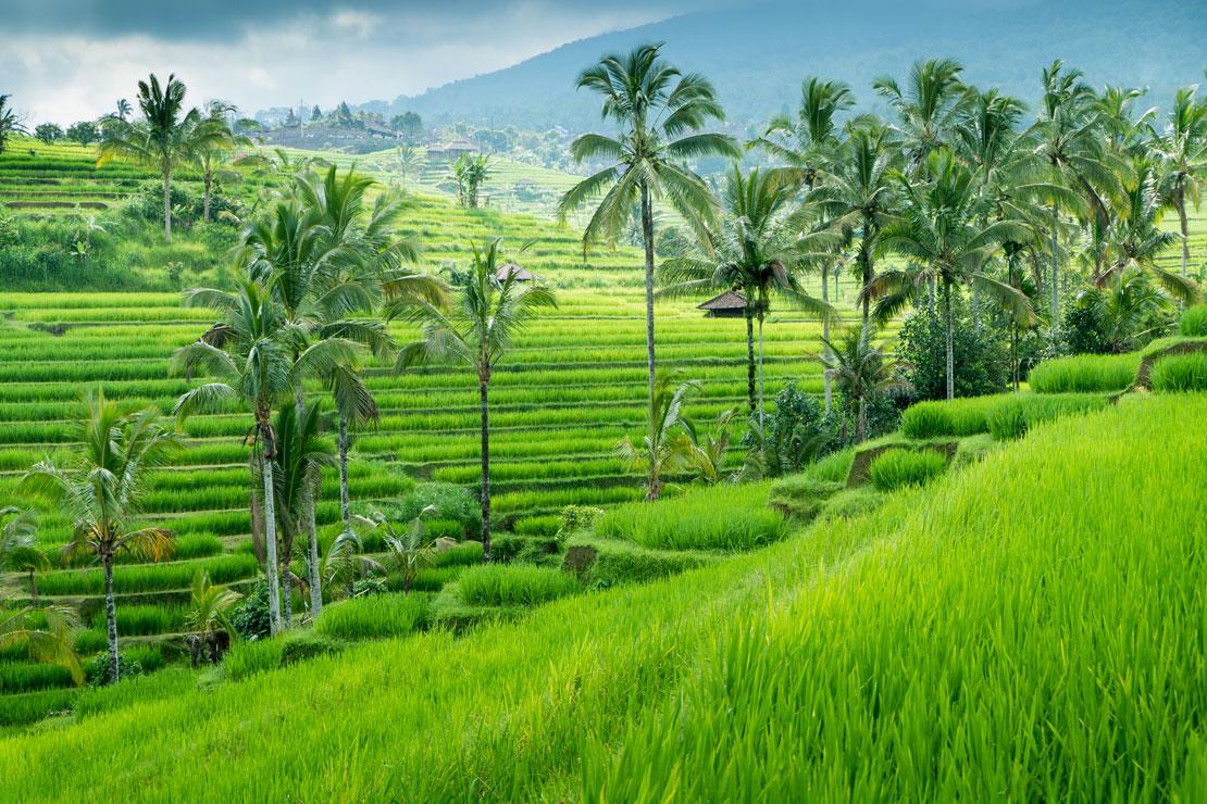 vacaciones en Bali arrozales de Ubud