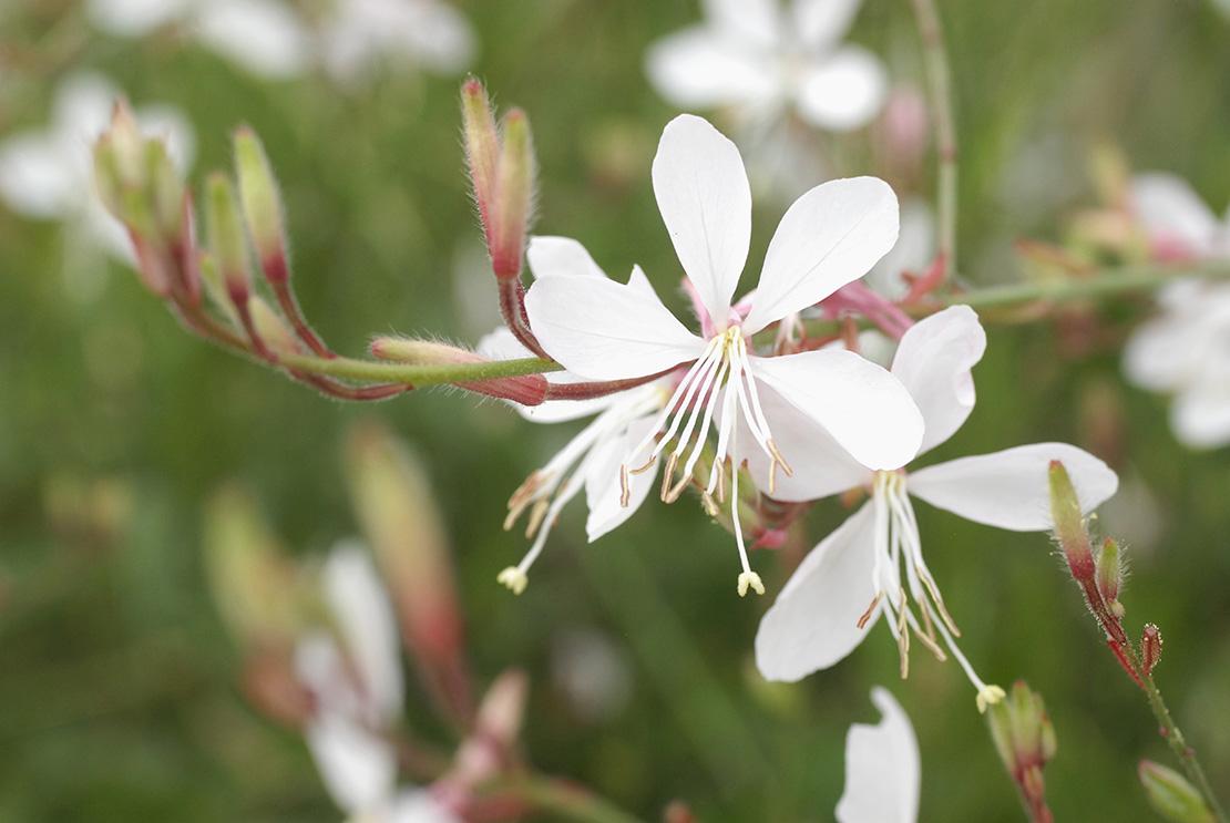 Flores de otoño Gaura blanca