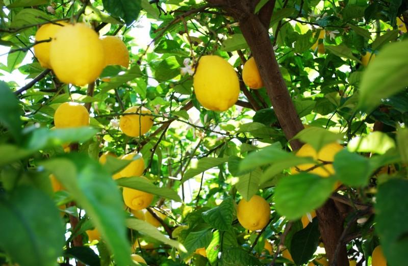 Amalfi-Limoni-Limoncello