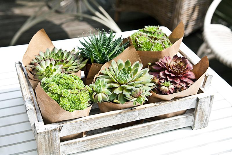 Plantentrend van het jaar: de vetplant