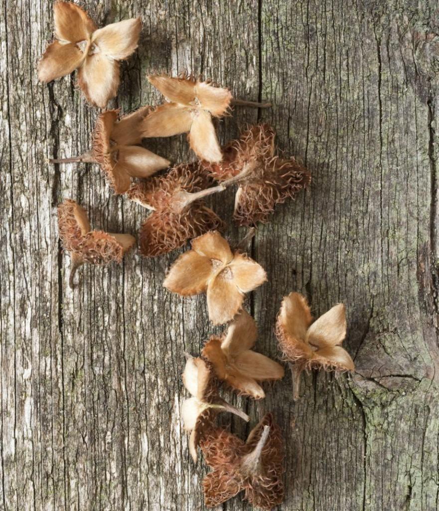 Bucheckern auf Holz